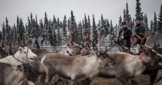 노르웨이에서 월동 준비를 위해 목초지로 이동하던 106마리의 순록들이 화물 기차에 치여 숨지는 사고가 발생했다. [사진 AFP=연합뉴스]