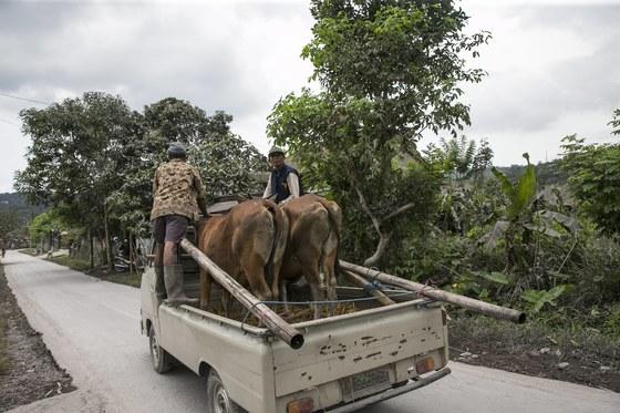 27일 인도네시아 발리에서 아궁 화산이 분화하는 가운데 소를 차에 싣고 피신하는 주민들. [EPA=연합뉴스]