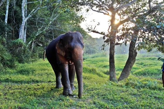 골든트라이앵글아시아코끼리재단(The Golden Triangle Asian Elephant Foundation)의 보호 받고 있는 코끼리.