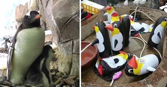 국립생태원의 전투 펭귄(좌)과 중국의 한 동물원에 전시된 가짜 펭귄(우) [국립생태원 웨이보 캡처]