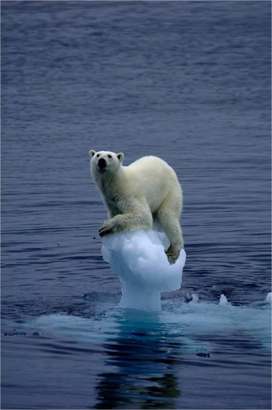 지구 온난화로 북극해 빙하가 녹아 생존 위기에 처한 북극곰 [사진 멕신 버켓 미국 하와이주립대 법과대학 교수·기초과학연구원]