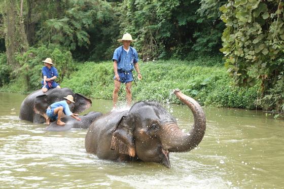 태국 정부가 태국 북부 람빵에 운영하는 코끼리 보호 센터(Elephant Conservation Center)에서 목격한 강력한 유대 관계를 맺는 마후트와 코끼리. 이 외에도 민간 보호센터도 꽤 많다.
