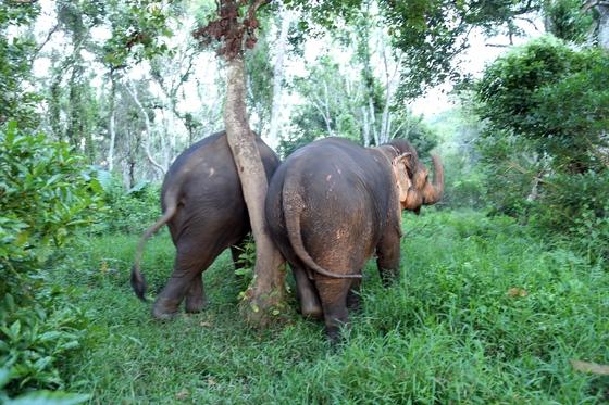 나무 한 그루를 가운데 두고 북북 등을 긁고 있는 코끼리 두 마리. 코끼리의 습성을 가장 잘 이해할 수 있는 여행법은 코끼리 라이딩이나 서커스 관람이 아니라 함께 걷기다.