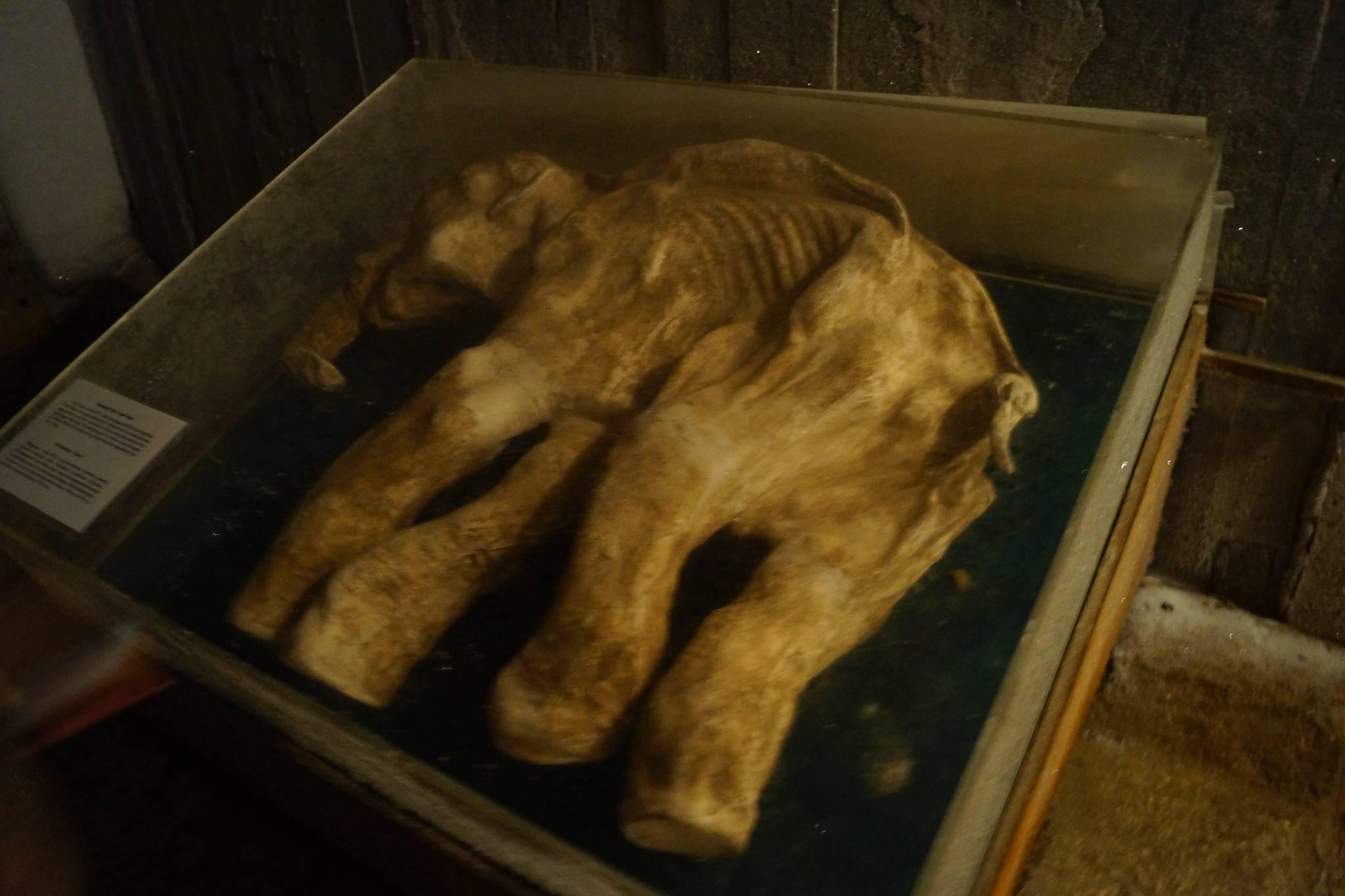 발굴된 매머드 사체, 야쿠츠크 영구동토박물관 강찬수 기자