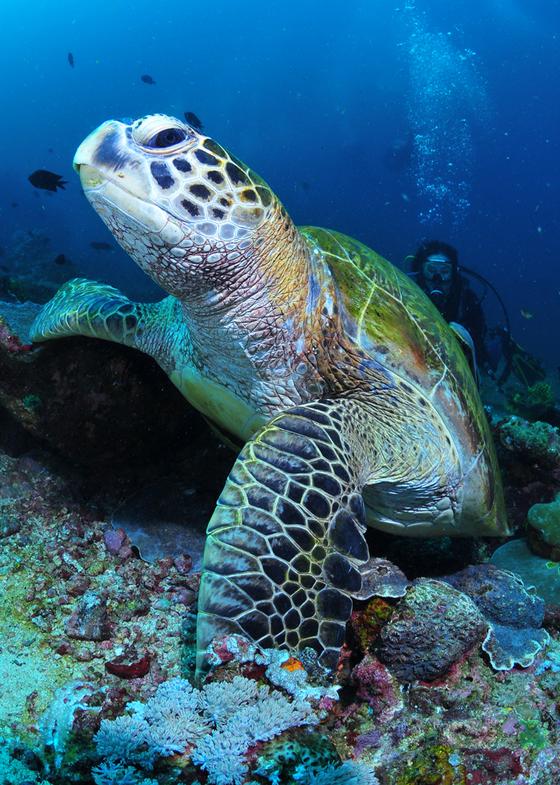 해외 바다에 흔한 거북이. [사진 박동훈]