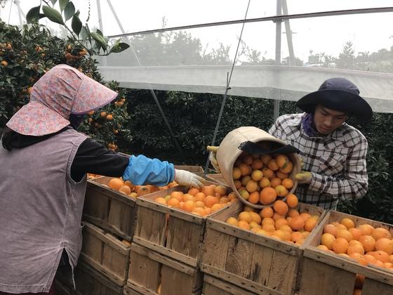 제주도 서귀포시 남원읍 하례리 한 농가에서 농부들이 수확한 감귤을 상자에 담고 있다. [최충일 기자]