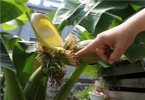 올 6월 대구 주택에 열린 바나나. [연합뉴스]