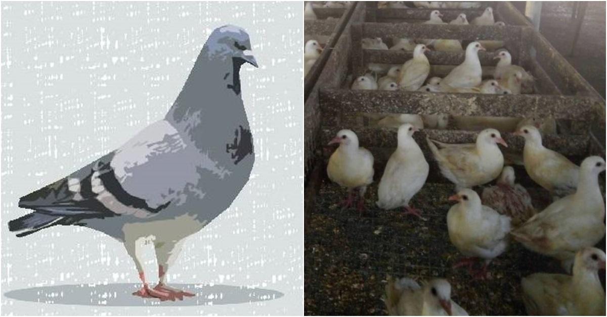 중국 비둘기 양계장에 있는 비둘기들(오른쪽). [사진 so빵 네이버 블로그]