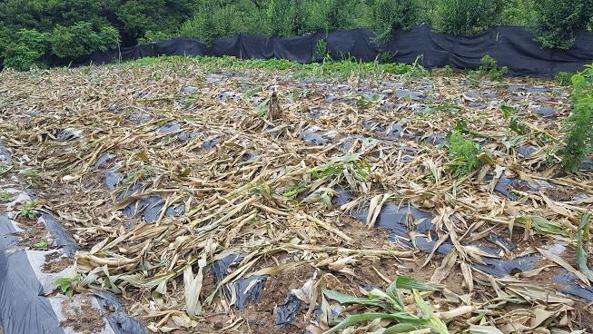 지난 8월 멧돼지가 드나들면서 훼손된 청주시 흥덕구 낭성면 한 마을의 옥수수밭. [청주시 제공=연합뉴스]