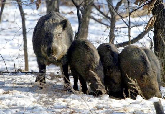 눈밭에 나타난 멧돼지 가족. 전국 산림에는 30만 마리의 멧돼지가 서식하고 있다. [중앙포토]