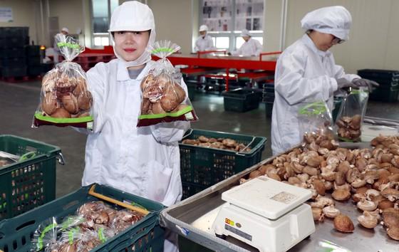 충남 청양농협 산지유통센터에서 직원들이 표고버섯 선별작업을 하고 있다. 청양지역 표고버섯 재배농민들은 공동선별출하 조직을 만들어 농산물을 공동 판매하고 있다. 생산한 농산물을 유통센터에 모아 선별한 뒤 대형할인매장 등에 공동 납품한다. 청양=김성태 프리랜서