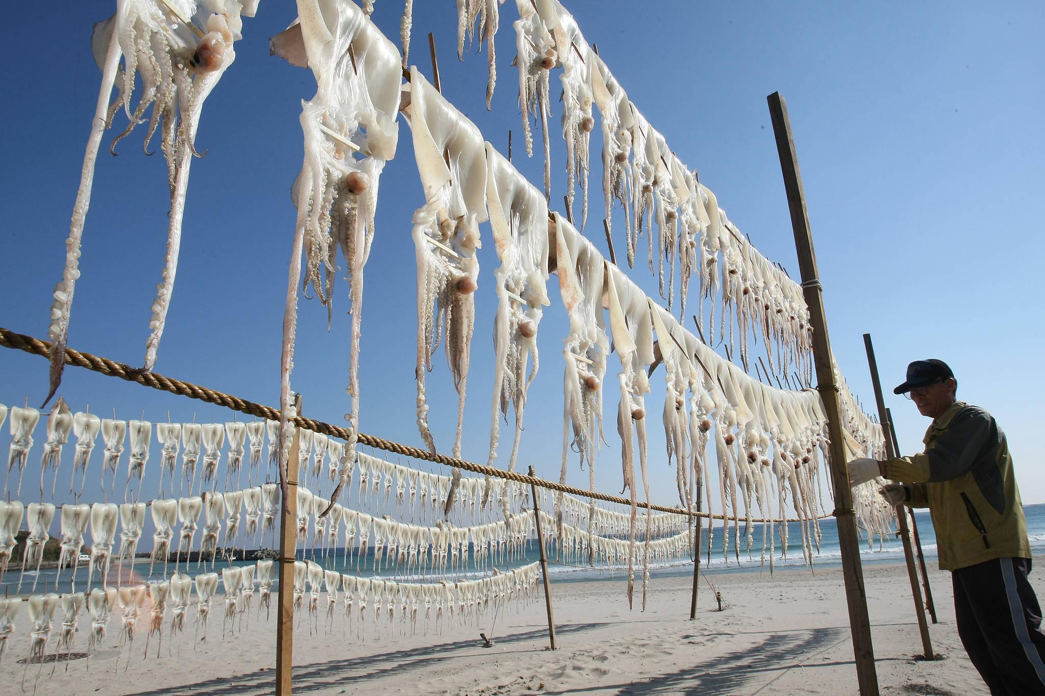 경북 포항시 인근에서 한 어민이 바닷바람에 오징어를 말리고 있다. [중앙포토]