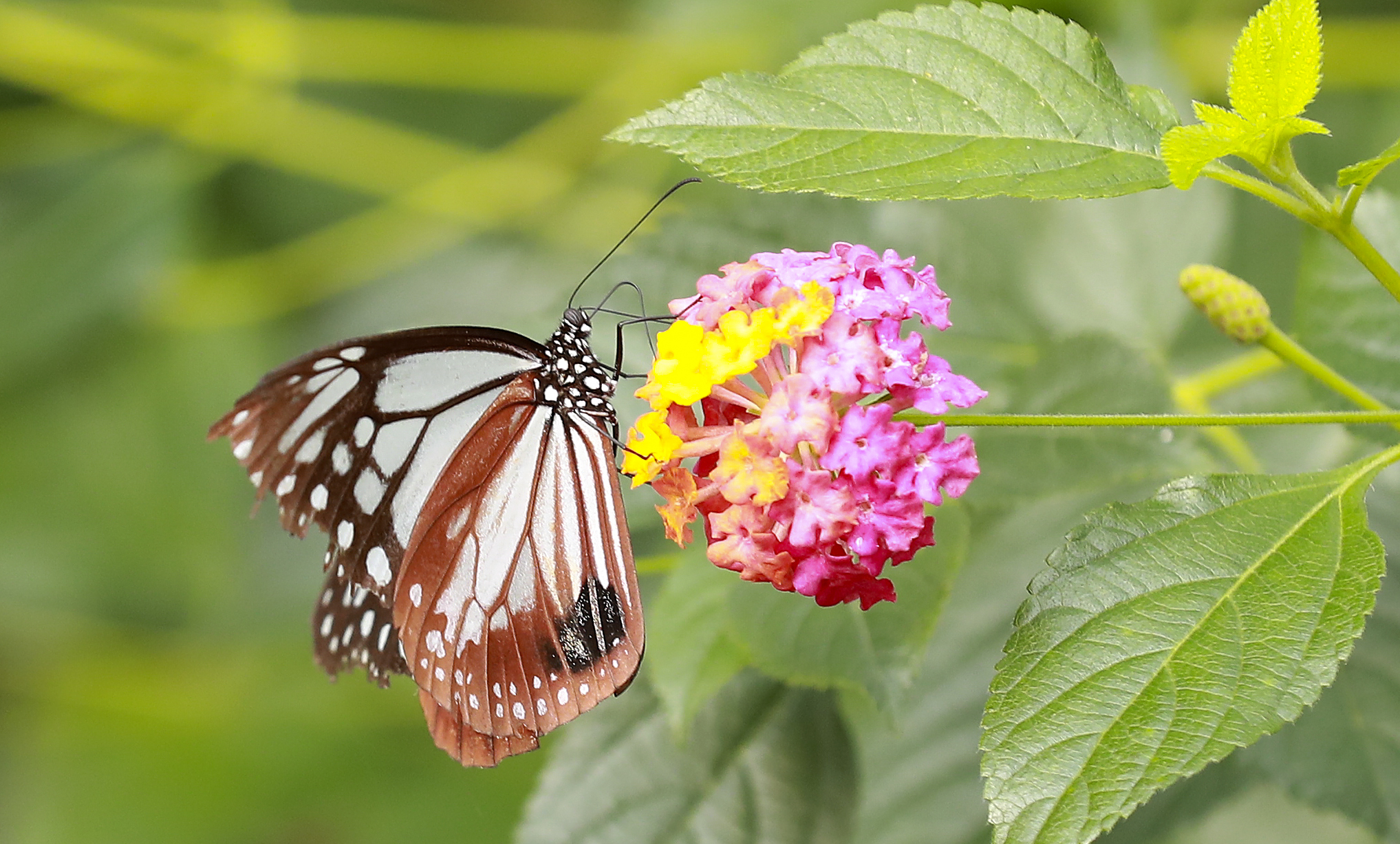 왕나비가 21일 오전 경기도 가평 이화원 나비생태관에서 꿀을 먹고 있다. 임현동 기자