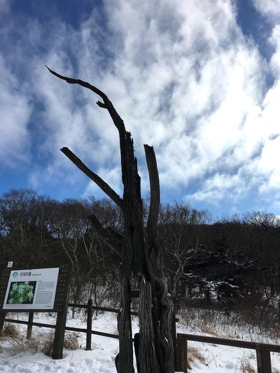 소백산 정상에 오랜 수령의 주목나무 군락이 있다. [사진 하만윤]
