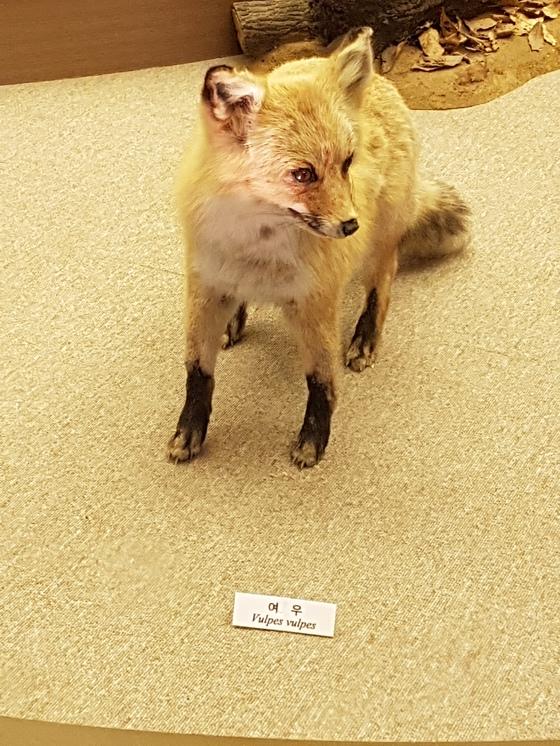 국내 마지막으로 발견된 야생 여우의 박제. 임명수 기자