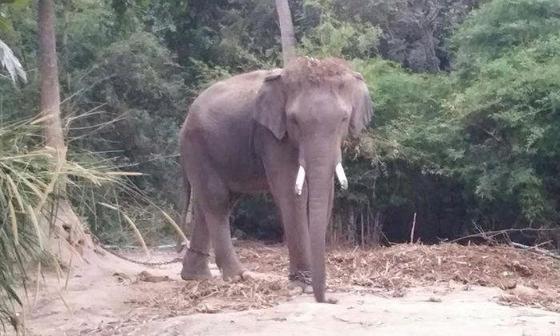 지난 21일 태국 파타야 인근 관광시설에서 난동을 부려 중국인 관광가이드 1명을 숨지게 한 17살짜리 수컷 코끼리의 사진. [연합뉴스]