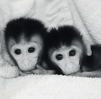 2014년 중국 윈난영장류생물의학중점연구소가 세계최초로 성공한 유전자 교정 원숭이. [중앙포토]
