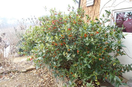 살림집 앞뜰의 치자나무에 가지마다 열매가 열었다. 열매를 따서 말린 치자는 한약재로도 쓰고, 노란 물을 들이는 식용 염료로도 쓴다.
