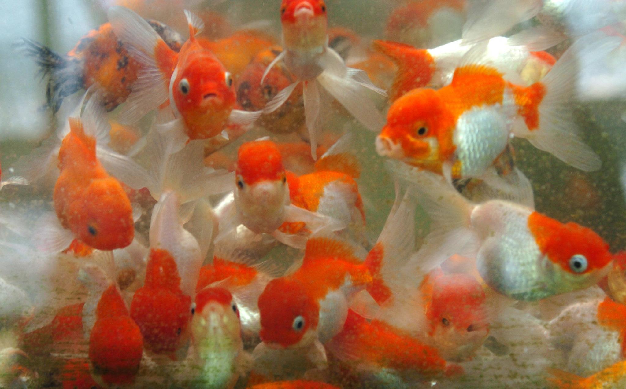 금붕어를 비롯한 물고기의 기억력이 3초 혹은 15초 밖에 지속하지 않는다는 얘기는 사실이 아닌 것으로 확인되고 있다. [중앙포토]