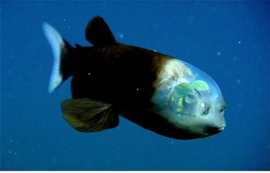 머리 부분이 투명한 물고기 [중앙포토]