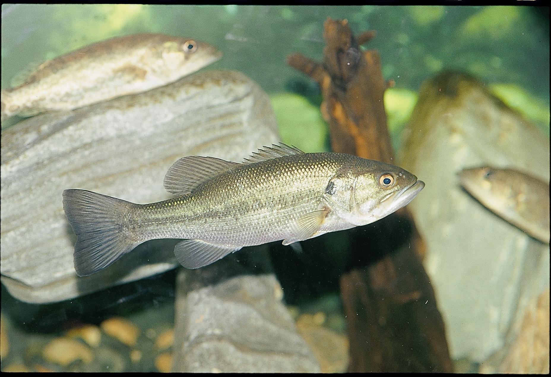 외래종 물고기인 배스 [중앙포토]