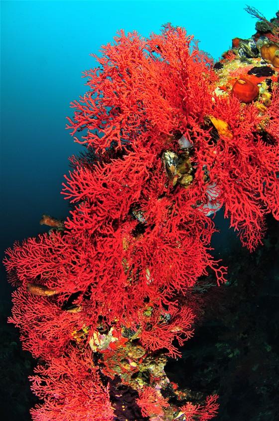 사각어초에 핀 적산호 눈부신 빨강색이 아름답다. [사진 박동훈]