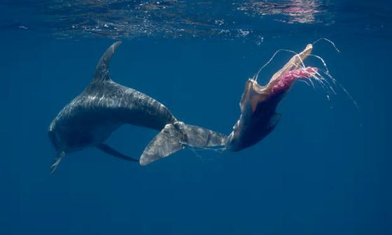 낚시줄과 플라스틱 소재로 만든 자루가 꼬리에 매달려 있는 돌고래 [앤드루 서튼, eco2.com]