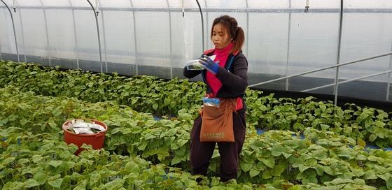 충남 금산군 추부면의 한 비닐하우스에서 캄보디아 출신 근로자 로타나씨가 깻잎을 따고 있다. 금산에서 재배하는 깻잎은 큰 일교차로 뒷면이 유독 짙은 보라색을 띠고 향이 강한 게 특징이다. [신진호 기자]