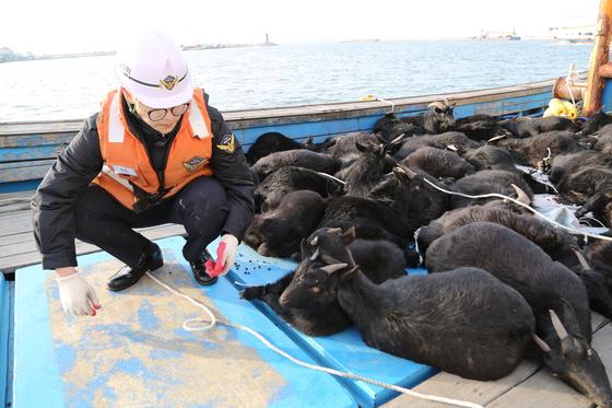 보령해경 경찰관이 무인도에서 불법 포획해 어선에 몰래 싣고 들어오다 적발된 어선에서 야생 염소를 살펴보고 있다. [사진 보령해경]