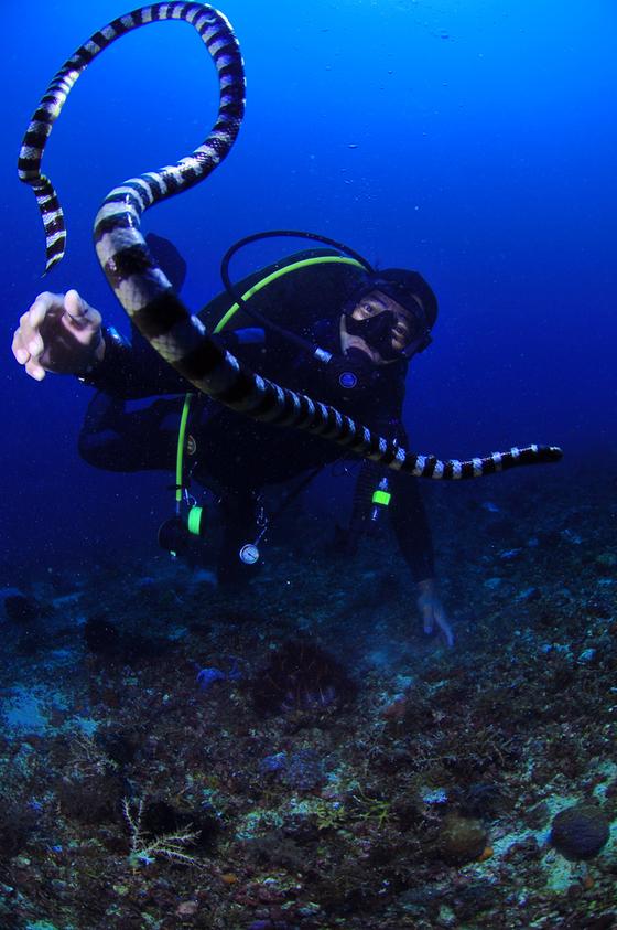 물속에서 다바뱀을 보여주고 있는 현지 가이드 숙달된 가이드가 아닌 다이버라면 바다뱀을 만지는 행위는 금해야 한다. [사진 박동훈]