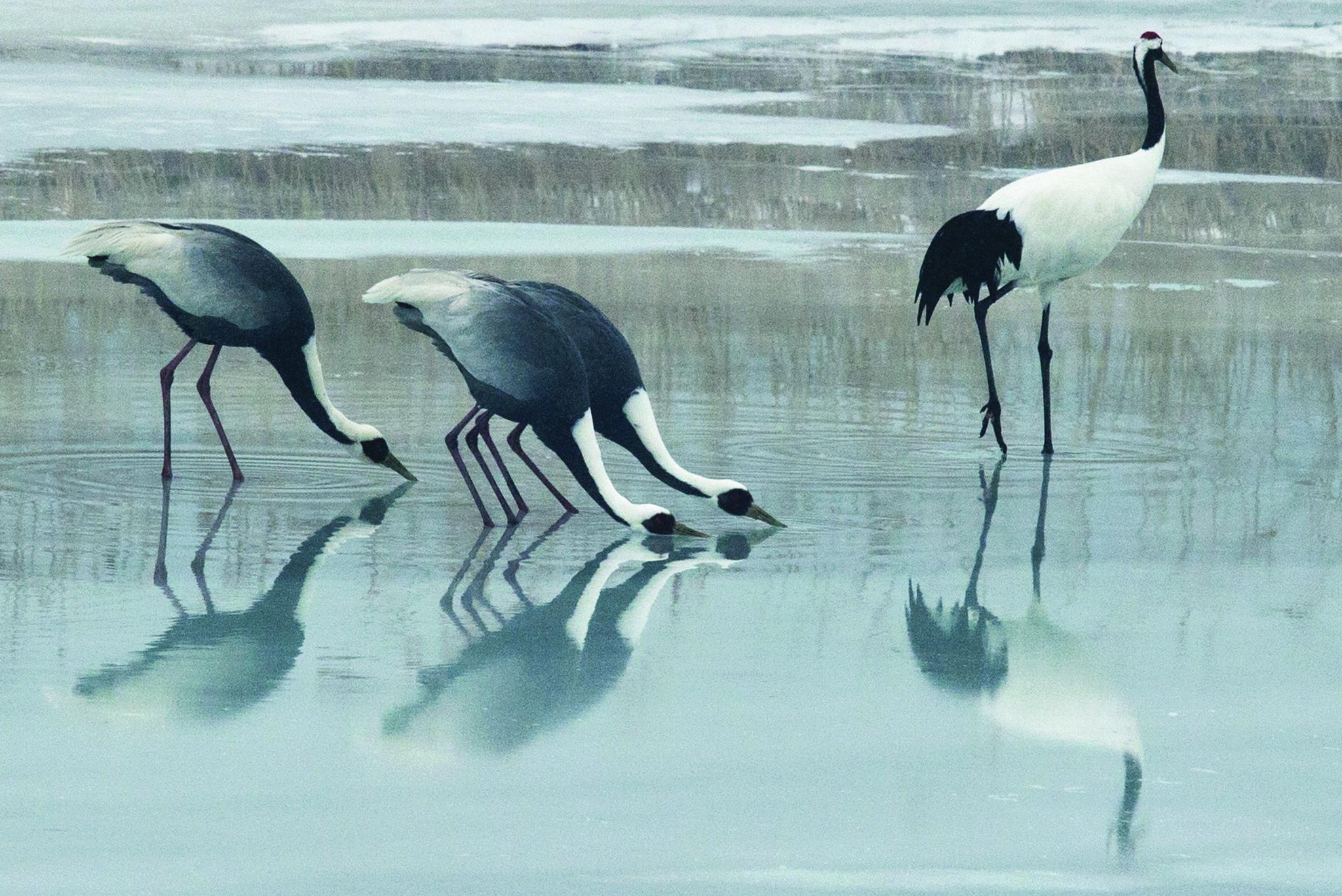 철원을 찾은 재두루미와 두루미가 얼음판 위에 고인 물을 먹고 있다. [중앙포토]