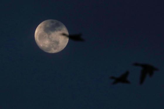 36년 만에 우리나라 밤 하늘에서 펼쳐질 환상의 우주쇼인 '블러드문·수퍼문·블루문' 동시 관측 현상을 하루앞둔 30일 밤 충남 서천 상공으로 쟁반같이 둥글고 큰 달이 떠있다. 한 달에 두 번째 뜨는 보름달을 '블루문', 평소보다 크게 보이는 보름달을 '수퍼문' 개기월식 상태에서 달이 핏빛으로 붉고 어둡게 보이는 현상을 '블러드문'이라고 불린다. 31일 당일 밤 뜬 수퍼문은 8시 48분 6초부터 달의 일부분이 지구 그림자에 가려지는 부분 월식을 시작으로 달이 지구 그림자에 완전히 들어가는 개기월식(9시51분 24초)이 진행될 예정이다. 프리랜서 김성태