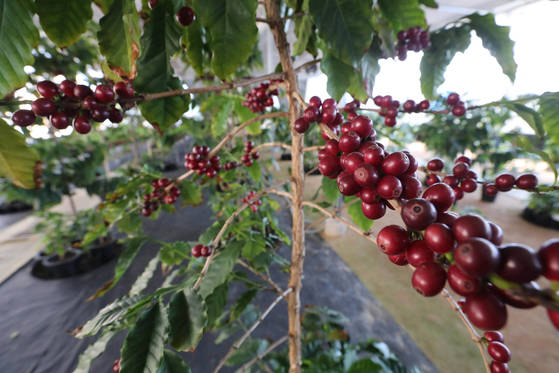 커피나무의 수명은 약 30~50년 정도지만, 지속해서 동일한 품질의 커피를 재배하기란 매우 어렵다. 신인섭 기자