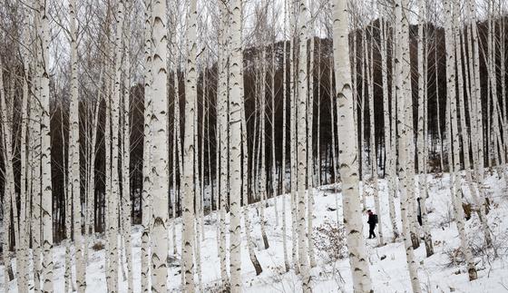 강원도 대표 여행지 인제 자작나무숲. [중앙포토]
