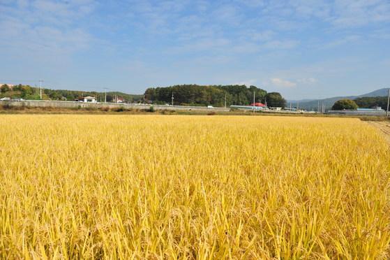 경기도 여주쌀이 논에서 노랗게 익어가고 있는 모습. 예부터 여주쌀은 이천쌀과 함께 품질이 좋아 진상미로 쓰였다. [사진 여주시]