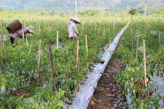 CJ 제일제당은 베트남 닌투어성 농가에 고추 종자 및 농업기술을 전수한 후 농민들이 수확한 고추를 사들이는 선순환 구조를 만들었다. [사진 CJ제일제당]