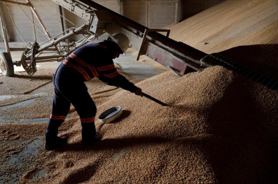 브라질산 옥수수에 대한 품질 검사를 하고 있는 한 멕시코인. [로이터=연합뉴스]