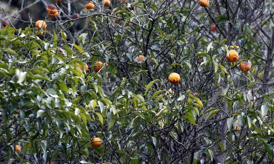 경상남도 남해군에 가면 유자나무를 대학나무라고 부른다. 유자나무 한그루에 나오는 유자 열매를 팔면 등록금으로 충분했다. [중앙포토]