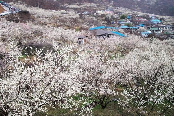 광양 매화마을 전경. [사진 김순근]