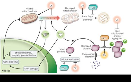소식에 의해 써투(Sir2) 단백질이 활성화되어 노화 유전자의 발현 억제에 관여한다. [출처 seehint,com]