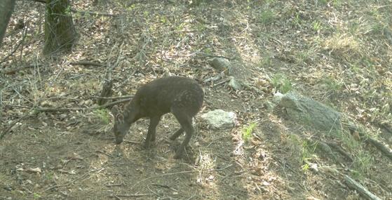 DMZ 일대에서 발견된 멸종위기종 사향노루. [사진 국립생태원]