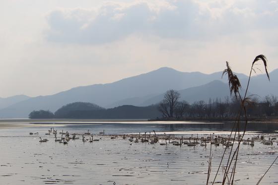 경기도 양평군 두물머리 세미원이 1주일 전부터 '백조의 호수'로 변했다. 사상 최초로 200여 마리의 백조가 날아와 집단으로 머물며 진귀한 장관을 연출하고 있다. [사진 윤무부 교수]