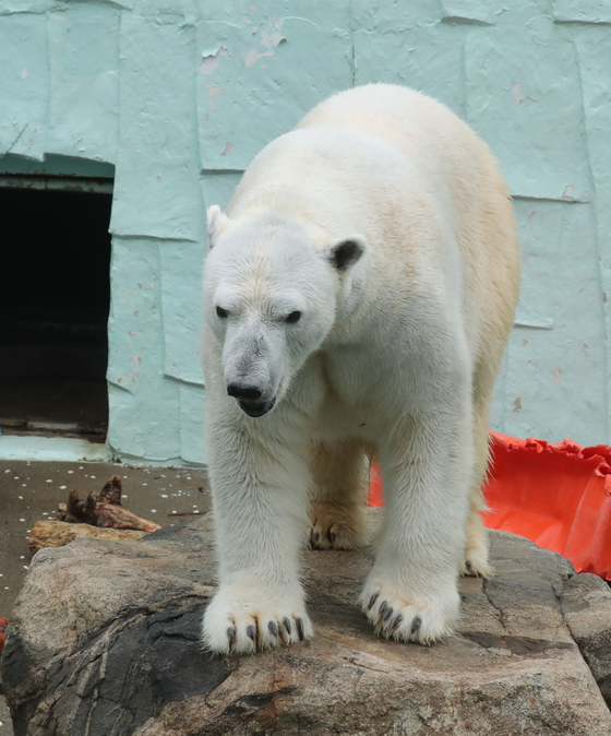 국내에 마지막 남은 북극곰 통키가 지난 달 에버랜드 사육장 바위 위에 우두커니 서 있다.한때 전국 동물원에 17마리 가량 있던 북극곰은 이제는 통키 단 한마리만 남았다. 최승식 기자