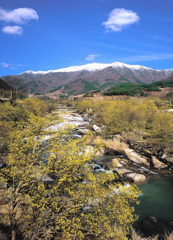 노란 산수유 꽃이 만개한 서시천과 새하얀 설경(雪景)을 동시에 즐길 수 있는 구례군 산동면 일대 전경. [사진 구례군]