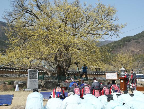 전남 구례군 주민들이 산동면 계척마을의 산수유 시목(始木) 앞에서 풍년제를 지내고 있다. [사진 구례군]