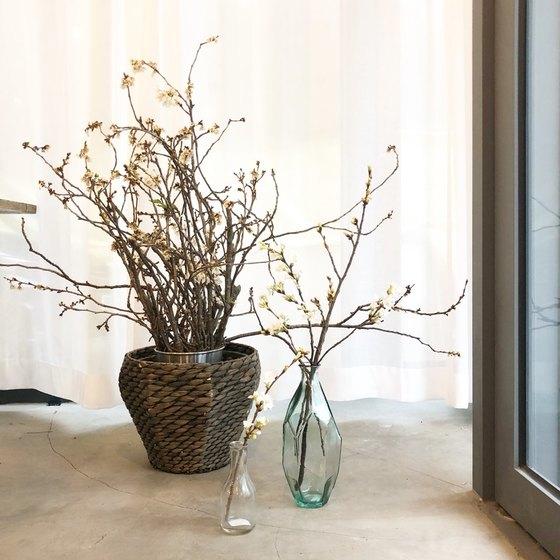 벚나무 가지를 집에 있는 화병에 나눠 꽂아두면 봄 내내 집안에서도 벚꽃을 즐길 수 있다. [사진 류아은]