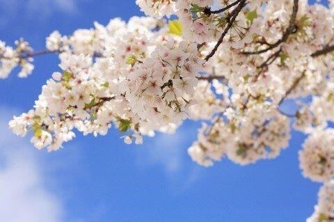 왕벚나무의 원산지는 일본이 아닌 제주도임이 밝혀졌다. [사진 류아은]