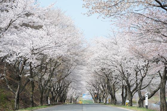 장곡사 벚꽃길. [중앙포토]