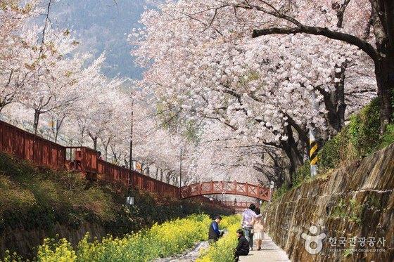 봄을 알리는 '벚꽃'. [사진 한국관광공사]