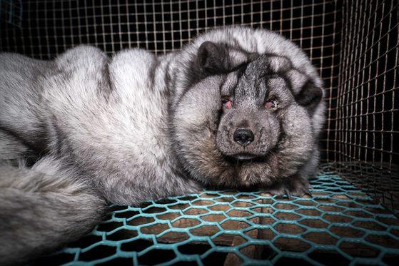 모피 생산을 위해 사용되는 북극여우. [핀란드 동물보호단체 '동물을 위한 정의'(Oikeutta elaimille)=뉴스1]